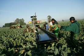 FARM WORKER broccoli