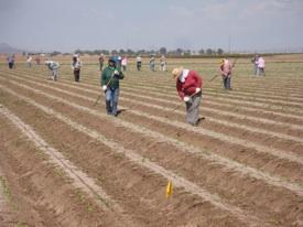 Farmworkers in Field